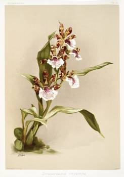 Zygopetalum crinitum from Reichenbachia Orchids (1888-1894) illustrated by Frederick Sander (1847-1920). Original from The New York Public Library.  #397853