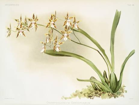Odontoglossum sanderianum from Reichenbachia Orchids (1888-1894) illustrated by Frederick Sander (1847-1920). Original from The New York Public Library.  #397948