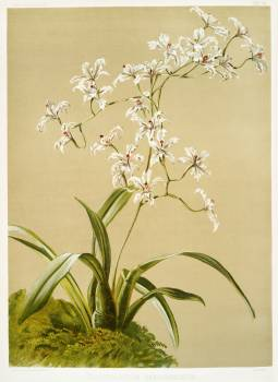 Odontoglossum ramosissimum from Reichenbachia Orchids (1888-1894) illustrated by Frederick Sander (1847-1920). Original from The New York Public Library.  #397986