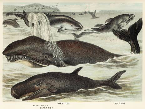 Blackfish, Porpoise, and Dolphin from Johnson's household book of nature (1880) by John Karst (1836-1922). #398057