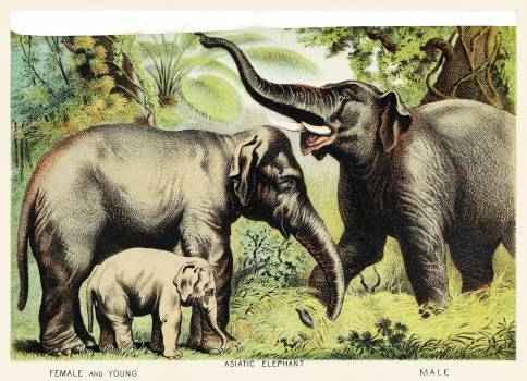 Asiatic elephant from Johnson's Household Book of Nature (1880) by John Karst (1836-1922). #398058