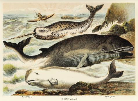 Narwhal, White whale, and Rorqual from Johnson's household book of nature (1880) by John Karst (1836-1922). #398060