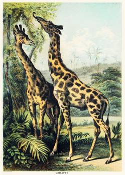 Giraffe from Johnson's household book of nature (1880) by John Karst (1836-1922). #398061