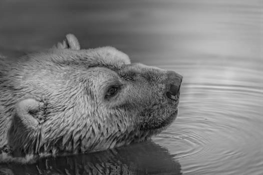 Bear on Water #39807