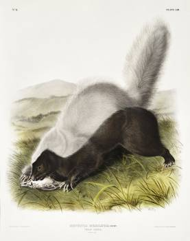 Texan Skunk (Mephitis mesoleuca) from the viviparous quadrupeds of North America (1845) illustrated by John Woodhouse Audubon (1812-1862). Original from The New York Public Library.  #398114