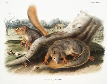 Say's Squirrel (Sciurus Sayi) from the viviparous quadrupeds of North America (1845) illustrated by John Woodhouse Audubon (1812-1862). Original from The New York Public Library.  #398136