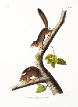 Richardson's Columbian Squirrel (Sciurus Richardsonii) from the viviparous quadrupeds of North America (1845) illustrated by John Woodhouse Audubon (1812-1862). Original from The New York Public Library.  #398149