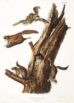 Flying Squirrel (Pteromys volucella) from the viviparous quadrupeds of North America (1845) illustrated by John Woodhouse Audubon (1812-1862). Original from The New York Public Library.  #398165