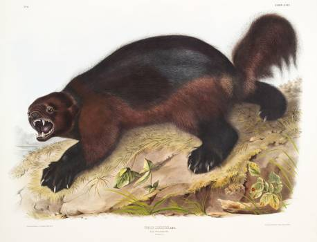 Wolverine (Gulo luscus) from the viviparous quadrupeds of North America (1845) illustrated by John Woodhouse Audubon (1812-1862). Original from The New York Public Library.  #398167