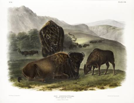 American Bison (Bos Americanus) from the viviparous quadrupeds of North America (1845) illustrated by John Woodhouse Audubon (1812-1862). Original from The New York Public Library.  #398169