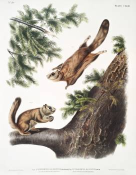 Severn River Flying Squirrel (Pteromys sabrinus) and Rocky Mountain Squirrel (Pteromys alpinus) from the viviparous quadrupeds of North America (1845) illustrated by John Woodhouse Audubon (1812-1862). Original from The New York Public Library.  #398170