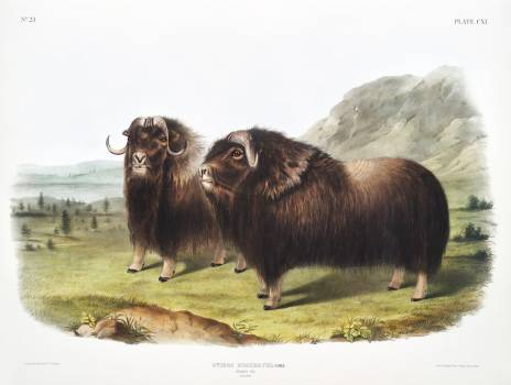 Musk Ox (Ovibos moschatus) from the viviparous quadrupeds of North America (1845) illustrated by John Woodhouse Audubon (1812-1862). Original from The New York Public Library.  #398176