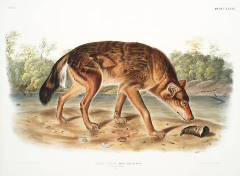 Red Texan Wolf (Canis lupus) from the viviparous quadrupeds of North America (1845) illustrated by John Woodhouse Audubon (1812-1862). Original from The New York Public Library.  #398180
