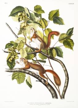 Hudson's Bay Squirrel, Chickaree Red Squirrel (Sciurus Hudsonius) from the viviparous quadrupeds of North America (1845) illustrated by John Woodhouse Audubon (1812-1862). Original from The New York Public Library.  #398192