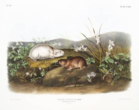 Hudson Bay Lemming (Myodes Hudsonius) from the viviparous quadrupeds of North America (1845) illustrated by John Woodhouse Audubon (1812-1862). Original from The New York Public Library.  #398197