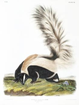 Large-tailed Skunk (Mephitis macroura) from the viviparous quadrupeds of North America (1845) illustrated by John Woodhouse Audubon (1812-1862). Original from The New York Public Library.  #398206