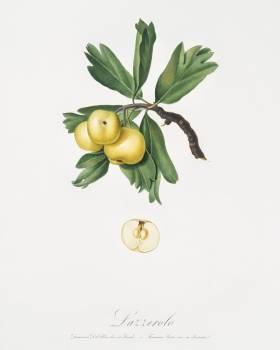 Hawthorn (Crataegus poliossea sterilis) from Pomona Italiana (1817 - 1839) by Giorgio Gallesio (1772-1839). Original from The New York Public Library.  #398242