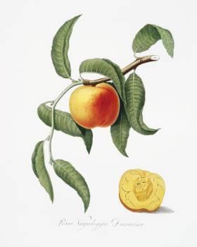 Peach (Prunus persica) from Pomona Italiana (1817 - 1839) by Giorgio Gallesio (1772-1839). Original from The New York Public Library.  Free Photo