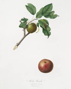 Apple (Malus ruginea) from Pomona Italiana (1817 - 1839) by Giorgio Gallesio (1772-1839). Original from The New York Public Library.  Free Photo