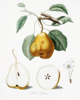 Pear (Pero spino) from Pomona Italiana (1817 - 1839) by Giorgio Gallesio (1772-1839). Original from The New York Public Library.  #398249