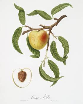 Peach (Persica mali-formis) from Pomona Italiana (1817 - 1839) by Giorgio Gallesio (1772-1839). Original from The New York Public Library.  #398252