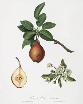 Pear (Pyrus Pedemontana) from Pomona Italiana (1817 - 1839) by Giorgio Gallesio (1772-1839). Original from The New York Public Library.  #398257