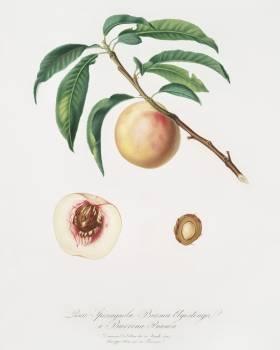 White speckled Peach (Burrona bianca) from Pomona Italiana (1817 - 1839) by Giorgio Gallesio (1772-1839). Original from The New York Public Library.  #398258