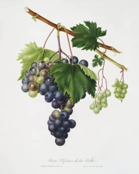 Grape from Ischia (Viti vinifera vegetatione insana) from Pomona Italiana (1817 - 1839) by Giorgio Gallesio (1772-1839). Original from The New York Public Library.  #398260