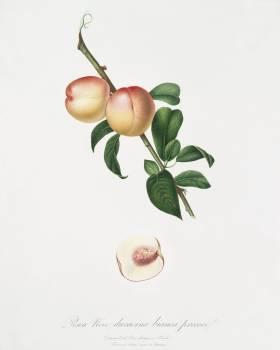 White walnut (Persica psillidermis) from Pomona Italiana (1817 - 1839) by Giorgio Gallesio (1772-1839). Original from The New York Public Library.  #398262