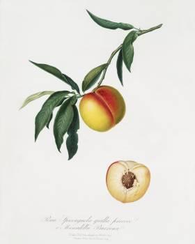 Peach (Persica julodermis) from Pomona Italiana (1817 - 1839) by Giorgio Gallesio (1772-1839). Original from The New York Public Library.  #398263
