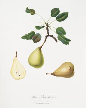 Pear (Pyrus communis) from Pomona Italiana (1817 - 1839) by Giorgio Gallesio (1772-1839). Original from The New York Public Library.  #398266