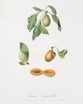 Prune (Prunus hyemalis) from Pomona Italiana (1817 - 1839) by Giorgio Gallesio (1772-1839). Original from The New York Public Library.  #398269