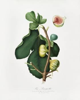 White-peel fig (Ficus carica sativa) from Pomona Italiana (1817 - 1839) by Giorgio Gallesio (1772-1839). Original from The New York Public Library.  #398272