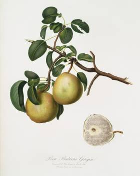 Pear (Pyrus Butyra) from Pomona Italiana (1817 - 1839) by Giorgio Gallesio (1772-1839). Original from The New York Public Library.  #398285