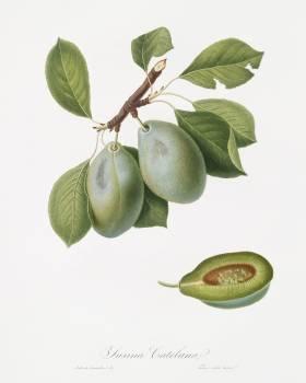 Plum (Prunus Catalanica) from Pomona Italiana (1817 - 1839) by Giorgio Gallesio (1772-1839). Original from The New York Public Library.  #398290