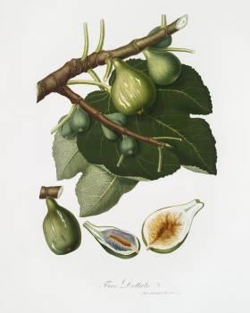 Fig (Ficus Carica sativa) from Pomona Italiana (1817 - 1839) by Giorgio Gallesio (1772-1839). Original from The New York Public Library.  #398293