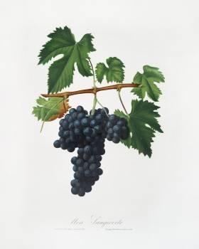 Lacrima grapes (Vitis vinifera Vallisarnensis) from Pomona Italiana (1817 - 1839) by Giorgio Gallesio (1772-1839). Original from The New York Public Library.  #398295
