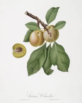 Prune (Prunus Claudia) from Pomona Italiana (1817 - 1839) by Giorgio Gallesio (1772-1839). Original from The New York Public Library.  #398299