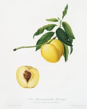 Yellow Apricot (Persica iulodermis) from Pomona Italiana (1817 - 1839) by Giorgio Gallesio (1772-1839). Original from The New York Public Library.  #398301