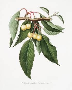 Cherry (Cerasus Duracina) from Pomona Italiana (1817 - 1839) by Giorgio Gallesio (1772-1839). Original from The New York Public Library.  #398304