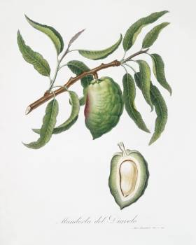Almond (Communis naxea) from Pomona Italiana (1817 - 1839) by Giorgio Gallesio (1772-1839). Original from The New York Public Library.  #398307