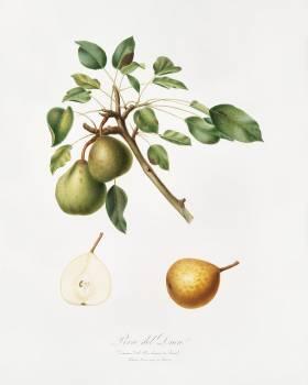 Pear (Pyrus Dugalis) from Pomona Italiana (1817 - 1839) by Giorgio Gallesio (1772-1839). Original from The New York Public Library.  Free Photo
