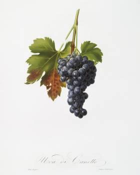 Raisin grape (Vitis vinifera circumpadana) from Pomona Italiana (1817 - 1839) by Giorgio Gallesio (1772-1839). Original from The New York Public Library.  Free Photo