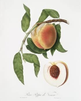Peach (Persica sativa) from Pomona Italiana (1817 - 1839) by Giorgio Gallesio (1772-1839). Original from The New York Public Library.  Free Photo