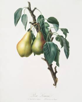 Lemon Pear (Pyrus limonia) from Pomona Italiana (1817 - 1839) by Giorgio Gallesio (1772-1839). Original from The New York Public Library.  #398317