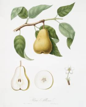 Pear (Pyrus Laurina) from Pomona Italiana (1817 - 1839) by Giorgio Gallesio (1772-1839). Original from The New York Public Library.  #398322