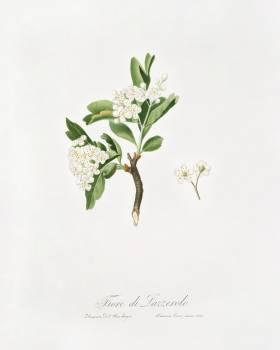 Hawthorn flower (Crataegus poliossea sterilis) from Pomona Italiana (1817 - 1839) by Giorgio Gallesio (1772-1839). Original from The New York Public Library.  #398324