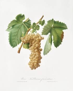 Trebbiano grapes (Vitis vinifera Trebulana Florentina) from Pomona Italiana (1817 - 1839) by Giorgio Gallesio (1772-1839). Original from The New York Public Library.  #398327