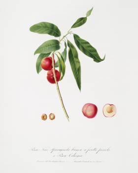 Apricot (Pesca Ciliegia) from Pomona Italiana (1817 - 1839) by Giorgio Gallesio (1772-1839). Original from The New York Public Library.  Free Photo
