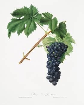 Black Aleatico grape (Vitis vinifera) from Pomona Italiana (1817 - 1839) by Giorgio Gallesio (1772-1839). Original from The New York Public Library.  #398336